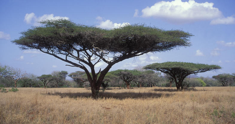 Umbrella Thorn Trees South Africa