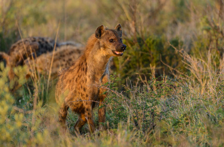 Spotted Hyena - Mammals - South Africa
