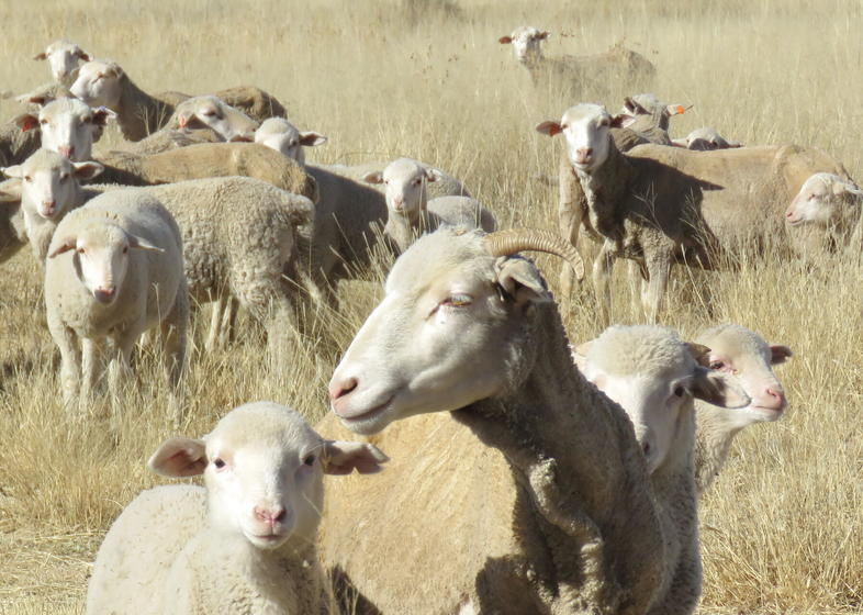 Dual Purpose Sheep Breeds In South Africa