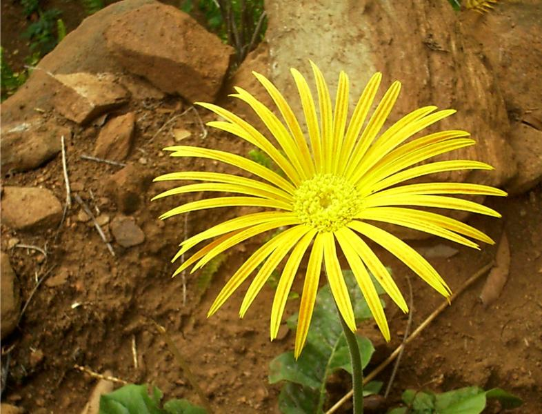 Barberton Daisy Flowers South Africa