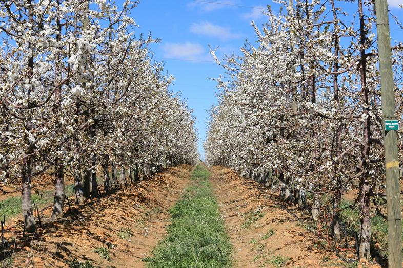 Cherry Farming South Africa