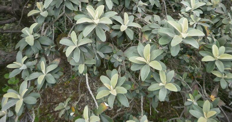 Camphor Bush - South African Medicinal Plants