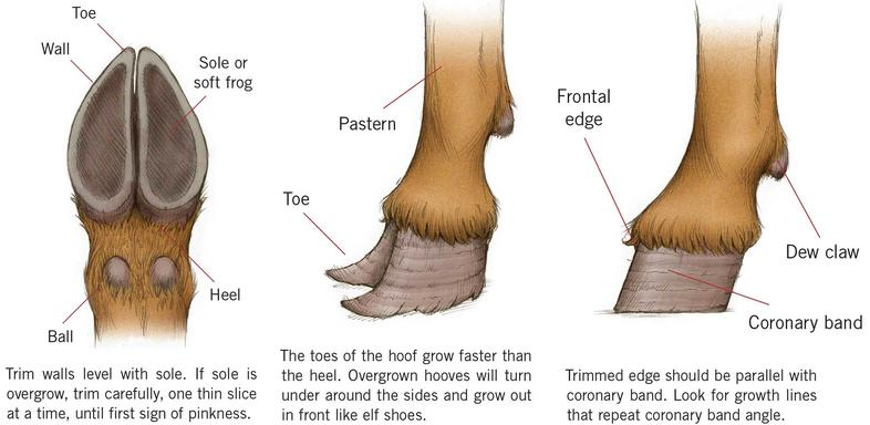 How To Care For The Hooves Of Goats