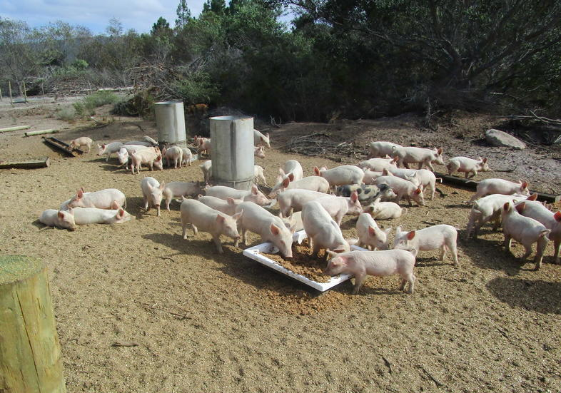 Pig Farming Sales, Making Money from Pig Production