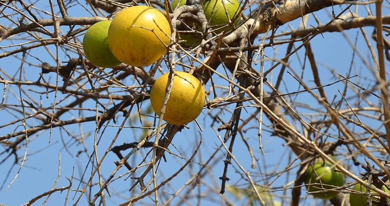 Image result for africa fruit trees